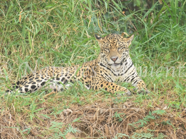 Jaguar - Grassy Rest Place