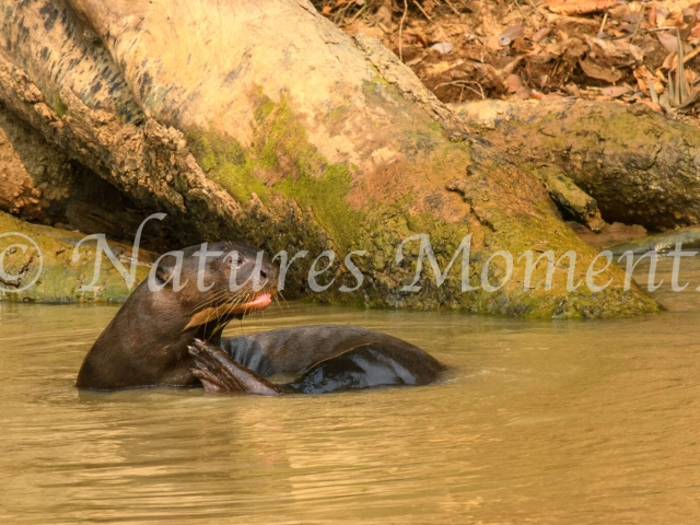 Giant River Otter - Water Wave