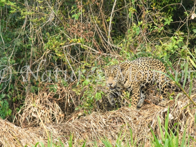 Jaguar - Grassland Walk