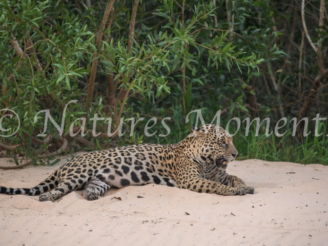 Jaguar - Rest on the River Bank