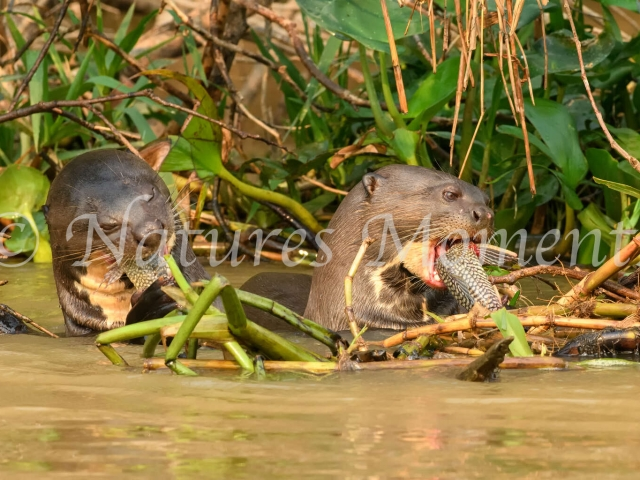 Giant River Otter - Fish Feast