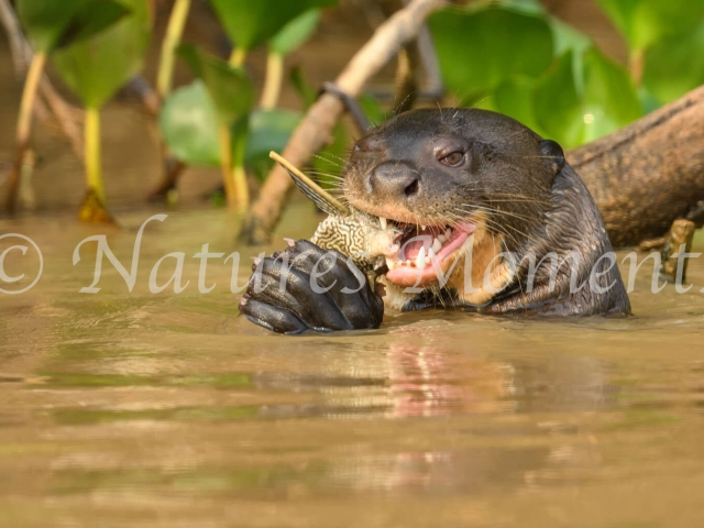 Giant River Otter - Fish Dinner