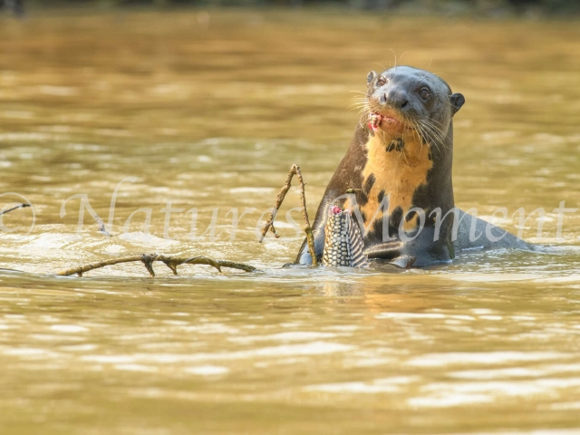 Giant River Otter - Tasty Nibble