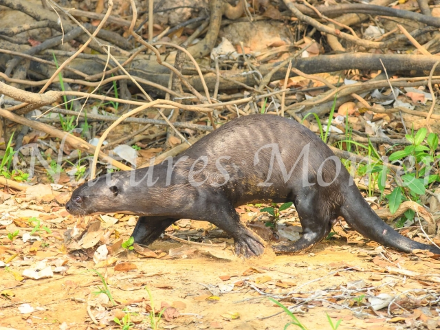 Giant River Otter - Walk on the Bank
