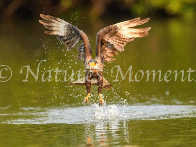 Black-collared Hawk - Take off Symmetry
