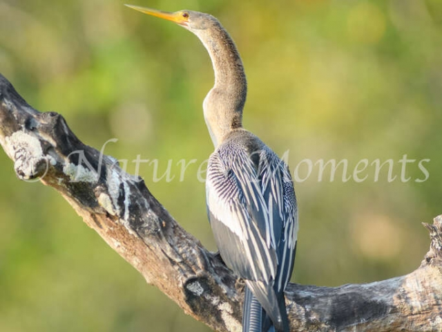 Anhinga, - Catching the Rays
