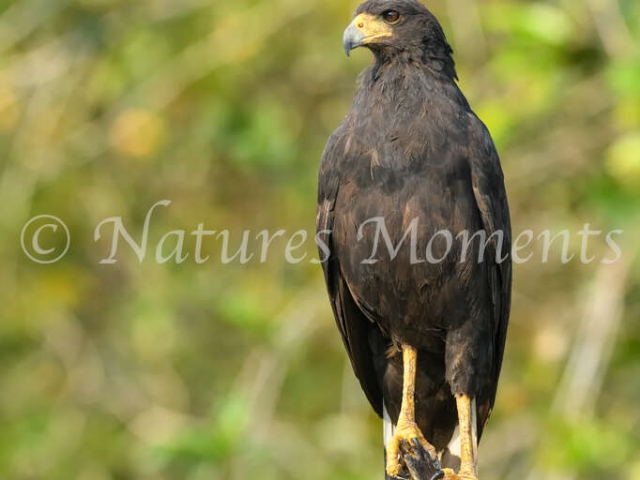 Great-black Hawk - Perfect Perch