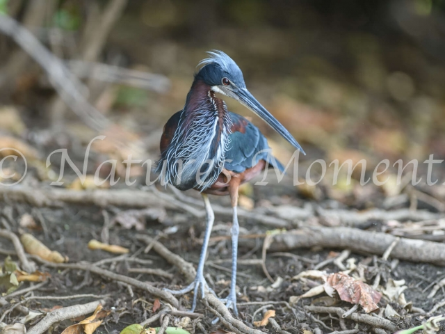 Agami Heron - Blue Beauty
