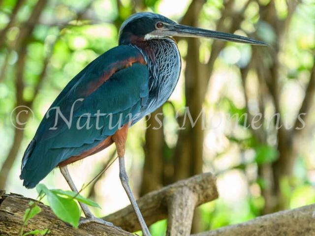 Agami Heron - Log Walk