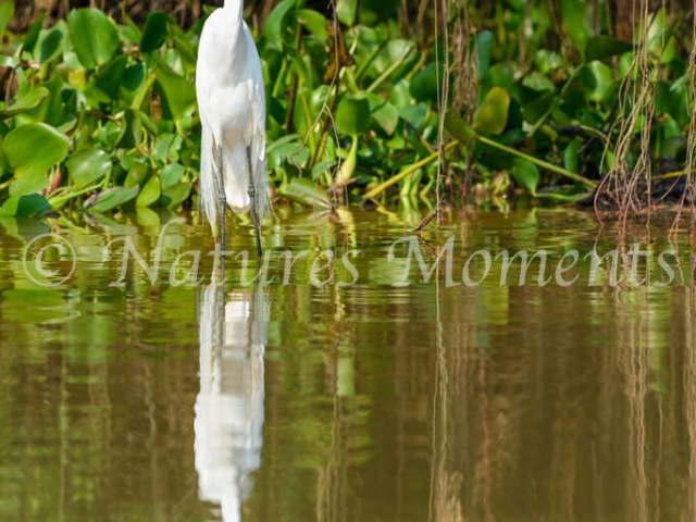 Great Egret - Whats Going On