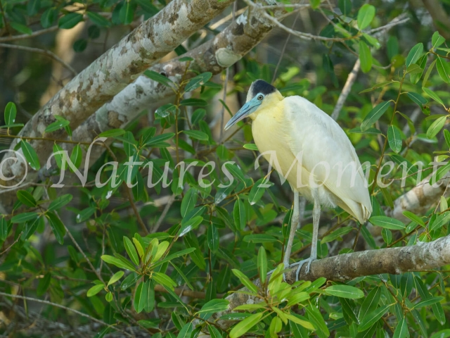 Capped Heron - Blue Face