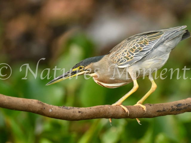 Striated Heron - Fishing