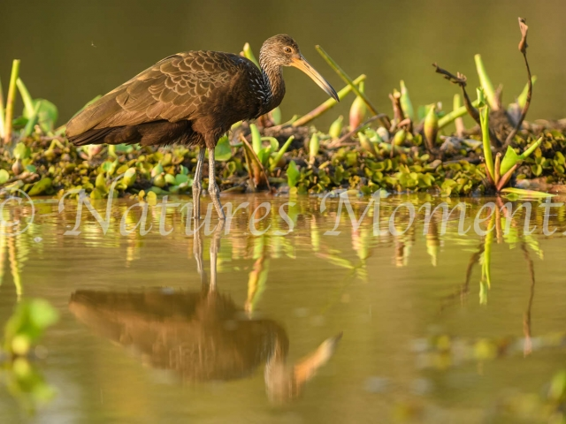 Limpkin - Perfect Reflection
