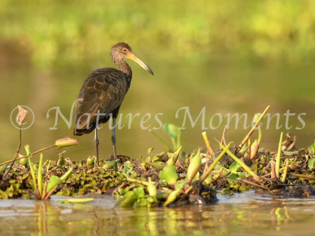 Limpkin - Water Grazing