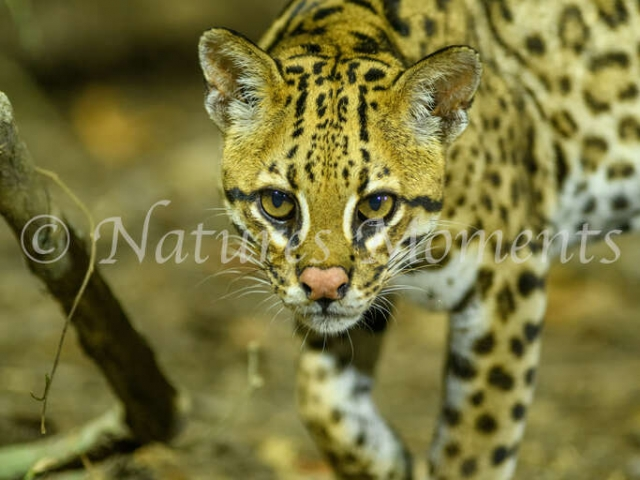 Ocelot - Creeping Forward