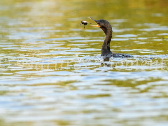 Anhinga - Tossing the Catch