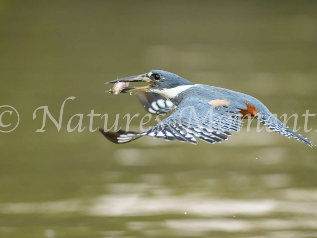 Ringed Kingfisher - Fish Supper