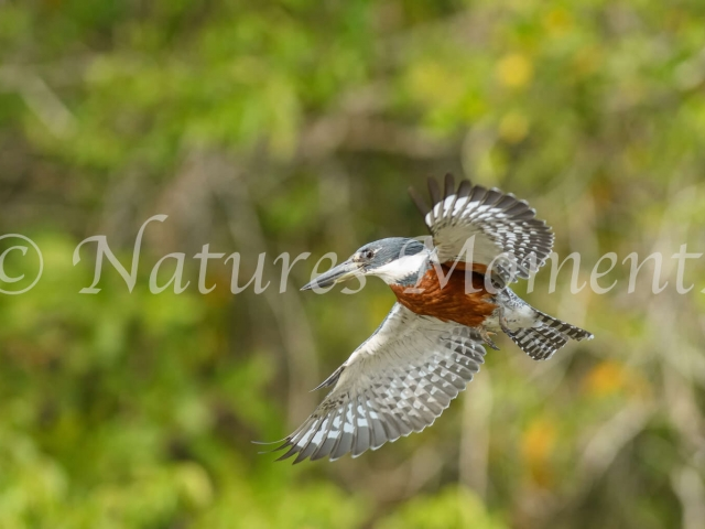 Ringed Kingfisher - Hovering