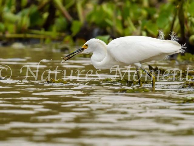Snowy Egret -  Tasty Tidler