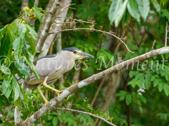 Boat-billed Heron - Beady Eye