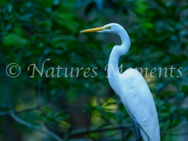 Great Egret - Celestun