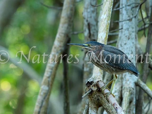 Green Heron - Marshland Perch