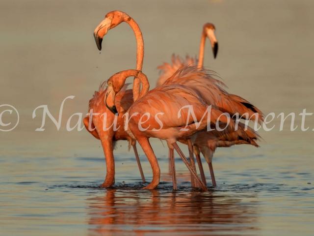 Greater Flamingo - Blaze of Colour
