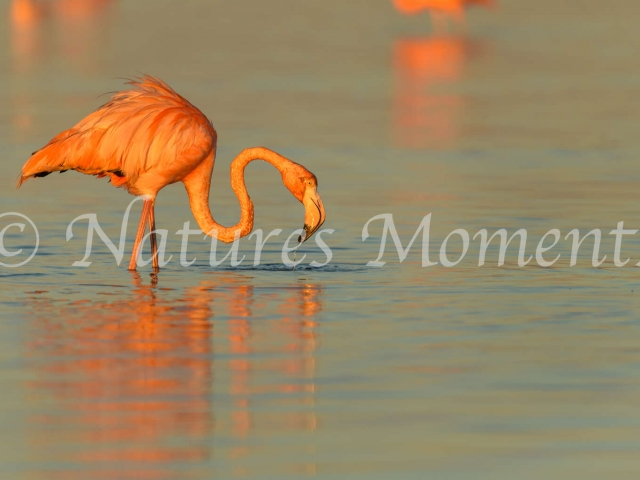 Greater Flamingo - Busy Fishing