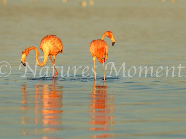 Greater Flamingo - Duet of Pink