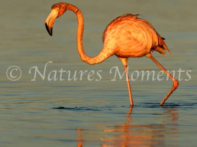 Greater Flamingo - Brilliance