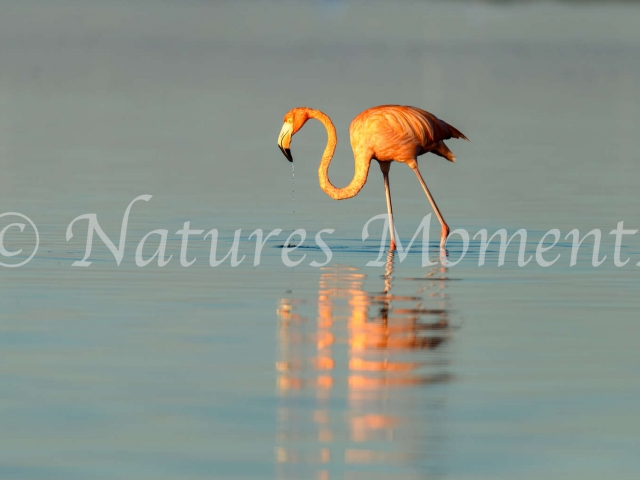 Greater Flamingo - Solitary Walk