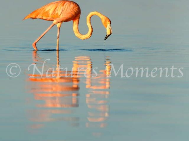 Greater Flamingo - Blue Reflection