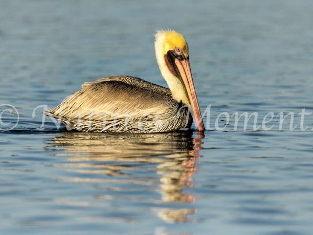 Brown Pelican at Rio Lagartos