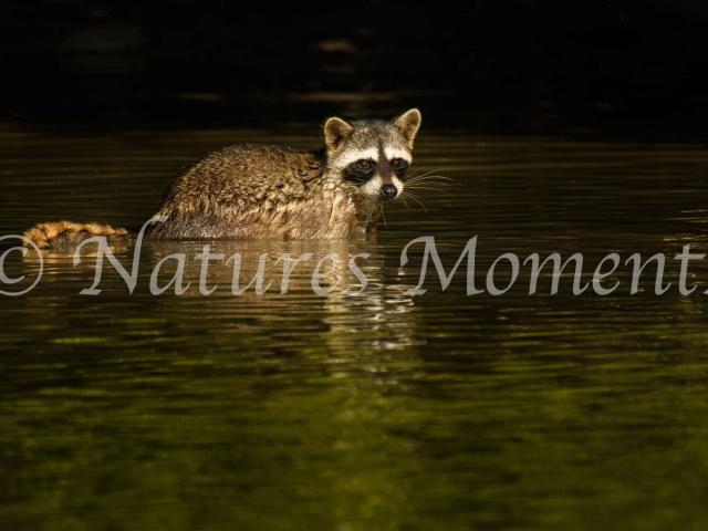 Common Raccoon - Marshland Reflection