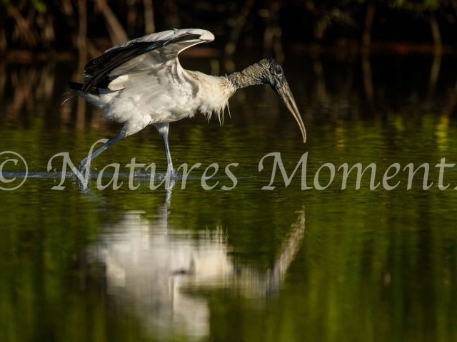 Wood Stork - Take Off