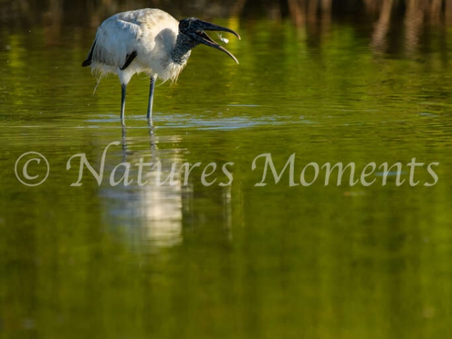 Wood Stork - Tossing a Morsel