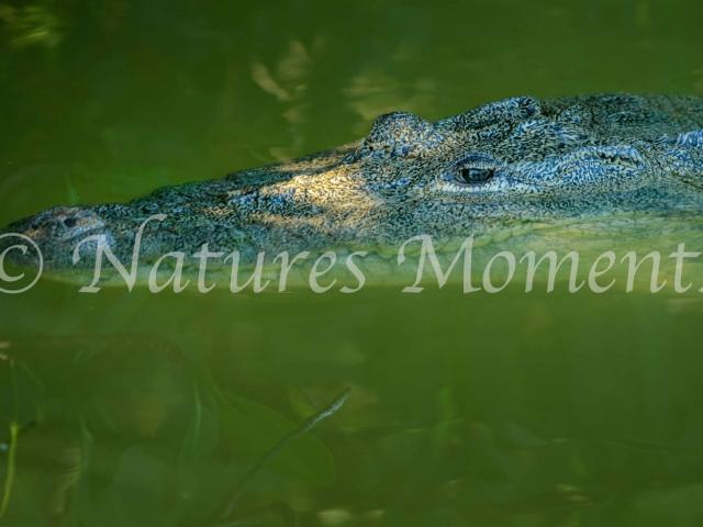 Crocodile - Lurking in the Green Lagoon