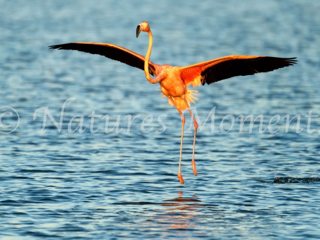 Greater Flamingo - Take Off