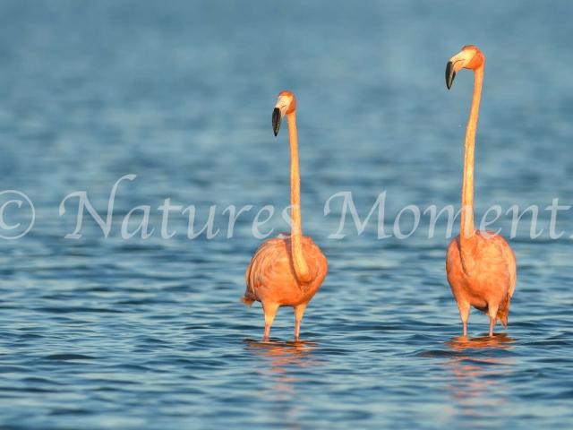 Greater Flamingo - Twos Company