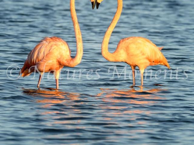 Greater Flamingo - Head to Head