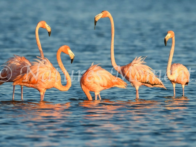 Greater Flamingo - Pay Attention Number 3