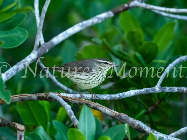 Northern Waterthrush - Mangrove Perch