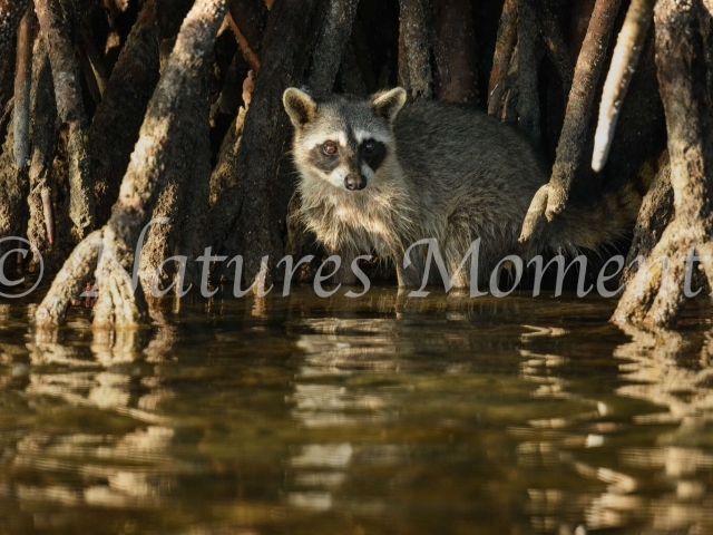 Common Racoon - Amongst the Mangroves