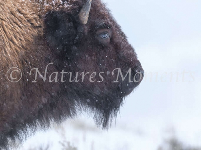 Bison - Head Profile