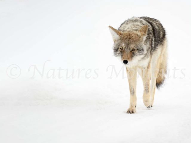 Coyote - Walking the Road
