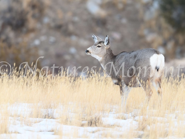 Mule Deer - In the Golden Grass