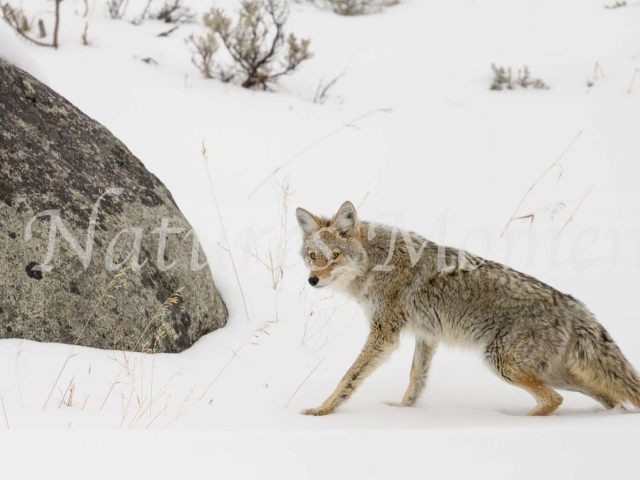 Coyote - Sinking in the Snow