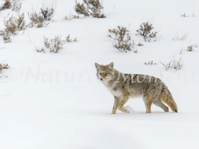 Coyote - Walk on the Snow