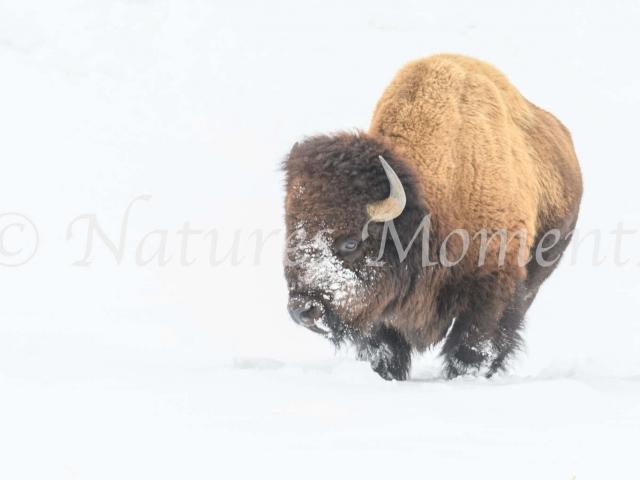 Bison - Fur Ball