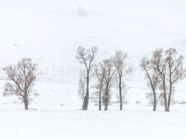 Lamar Valley - Aspens in Snow